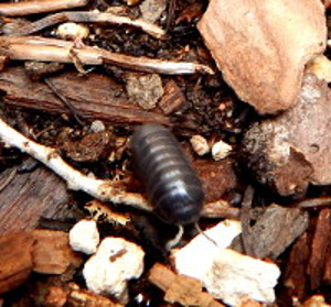 Armadillo Bugs
