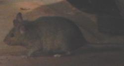 mouse-dscn2242-250