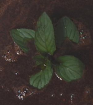 Chocolate Mint in Brewing Coffee